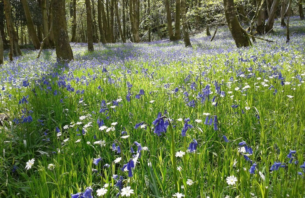Bluebell wood Lake District Cumbria