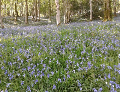 Bluebells put on a stunning show
