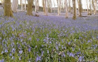 bluebell woods at Thornthwaite Farm