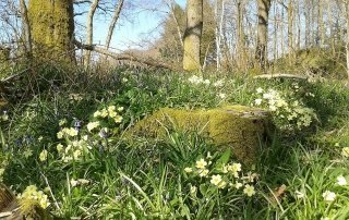 Primroses in the Lake District woods