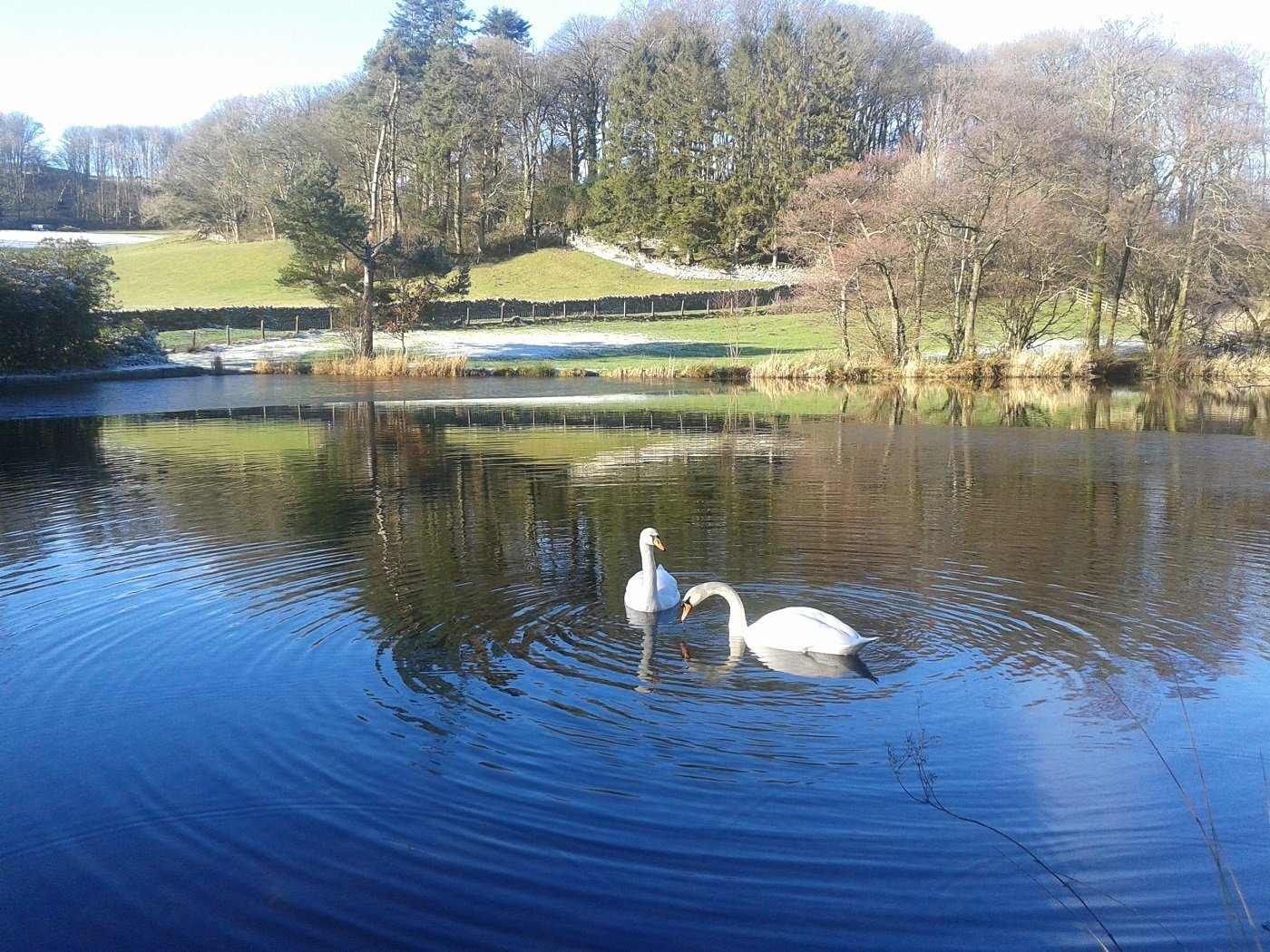 swans on our private fishing lake